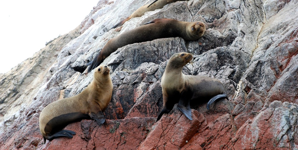 Three sea lions on a rock
