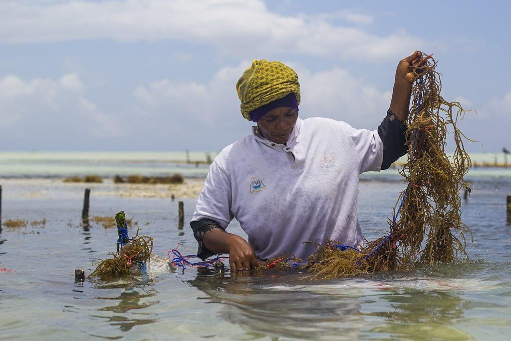 Seaweed farmer Zanzibar 2