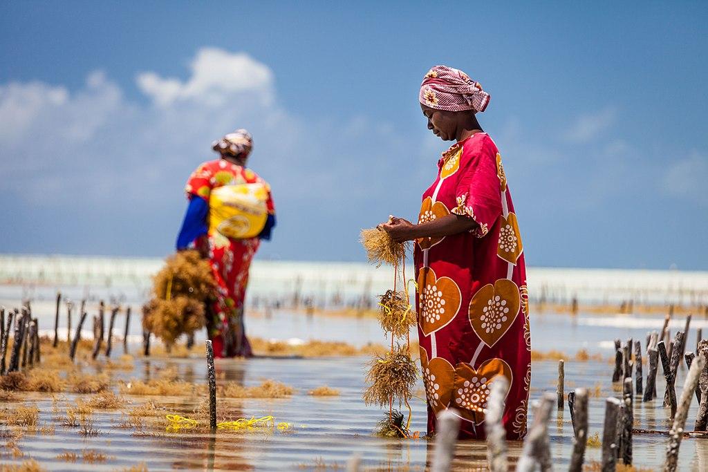Seaweed farmers working Zanzibar